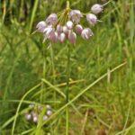 Nodding Onion - Allium Cernum